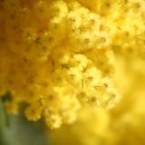 8 marzo: Coldiretti, inverno pazzo taglia 30% raccolto mimose